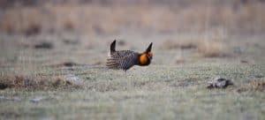 Leking Greater Prairie-Chicken