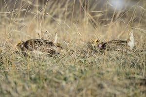 Leking Sharp-tailed Grouse