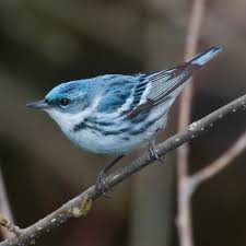 Cerulean Warbler with She Flew Birding Tours on our Warbler Grand Tour.