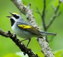 Golden-winged Warbler with She Flew Birding Tours on our Warbler Grand Tour.