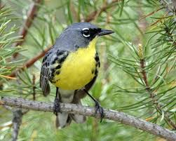 Kirtland's Warbler with She Flew Birding Tours on our Warbler Grand Tour.