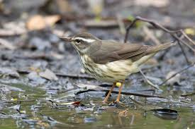 Louisiana Waterthrush with She Flew Birding Tours on our Warbler Grand Tour.