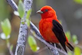 Scarlet Tanager with She Flew Birding Tours