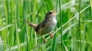 Sedge Wren with She Flew Birding Tours